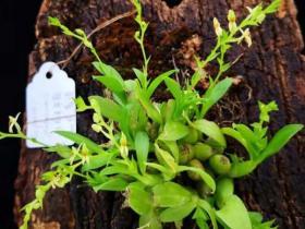 小花羊耳蒜Liparis platyrachis Hook.f.