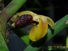 大花钗子股Luisia magniflora Z.H.Tsi et S. C.Chen