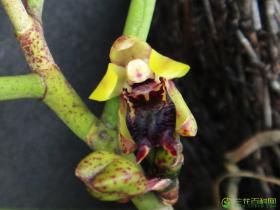 叉唇钗子股Luisia teres (Thunb.) Blume