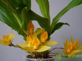 血红斑薄叶兰Lycaste cruenta (Lindl.) Lindl.