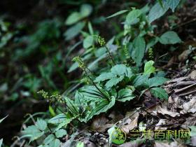 鞍唇沼兰Malaxis matsudai (Yamamoto) Hatusima