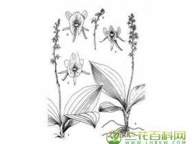 深裂沼兰Malaxis purpurea (Lindl.) Kuntze