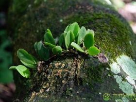 伏兰属Meiracyllium Rchb.f.