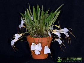 曼陀罗花尾萼兰Masdevallia datura Luer & R.Vásquez
