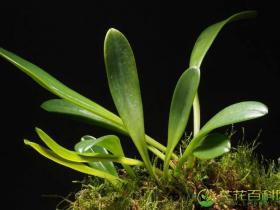 白花尾萼兰Masdevallia tovarensis Rchb.f.