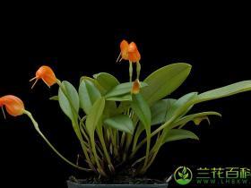 橙花尾萼兰Masdevallia limax Luer