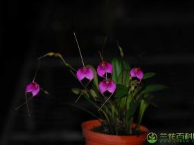 尾萼兰属/细瓣兰属/三尖兰属品种有哪些?