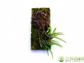 颚唇兰属 鰓兰属 腋唇兰属种植与栽培方法