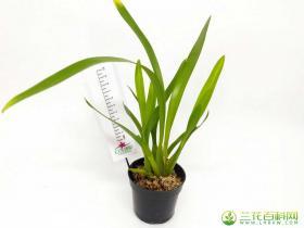 芮氏米尔顿兰Miltonia regnellii Rchb.f.