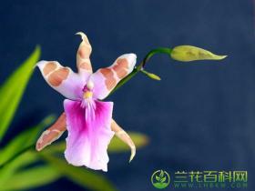 米尔顿兰属 堇色花兰属种植养护与栽培