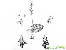 铺叶沼兰Malaxis mackinnonii (Duthie) Ames