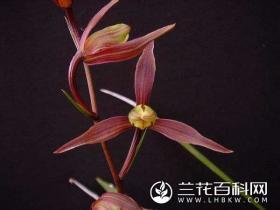 寒兰至尊红颜Cymbidium kanran Makino'Zhi Zun Hong Yan'
