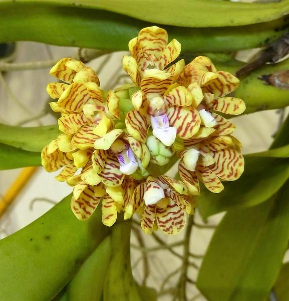 黄花斑纹多花脆兰高清图片欣赏