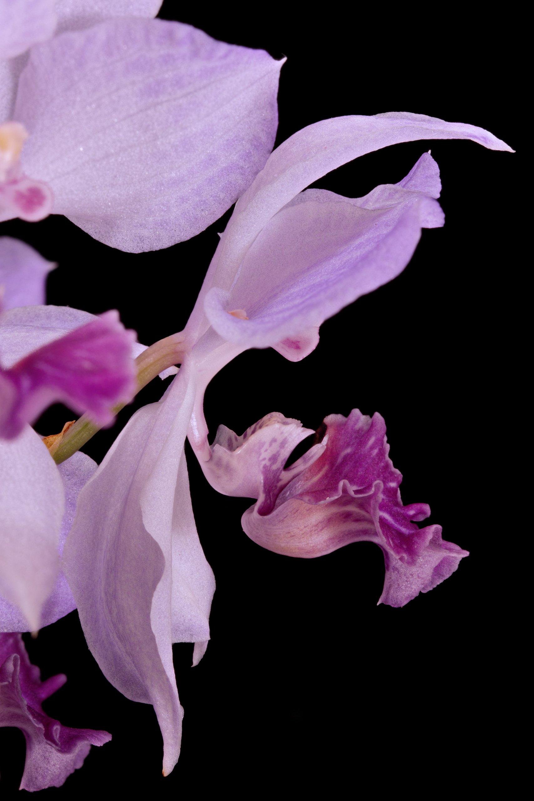 盆栽美兰Acacallis cyanea高清实拍图