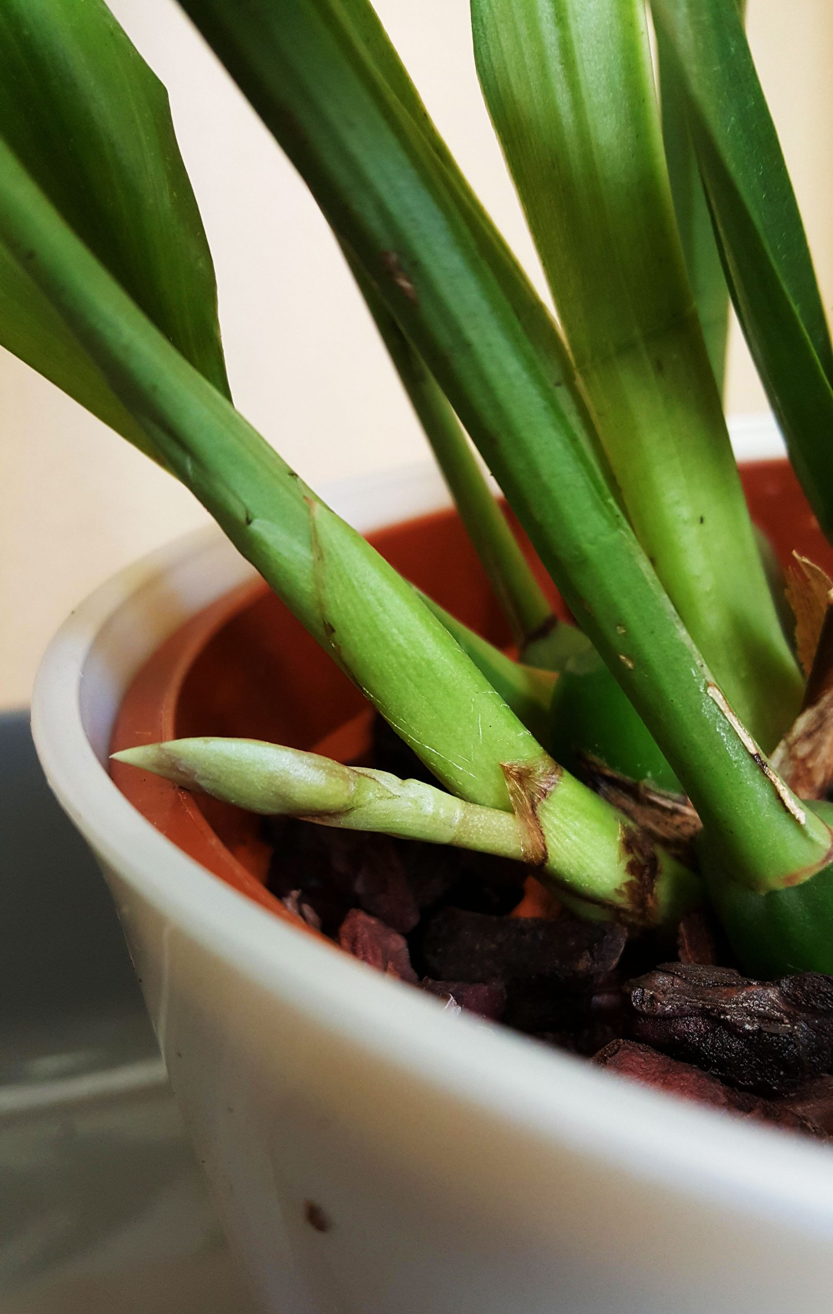 美兰Acacallis cyanea实拍高清图集欣赏