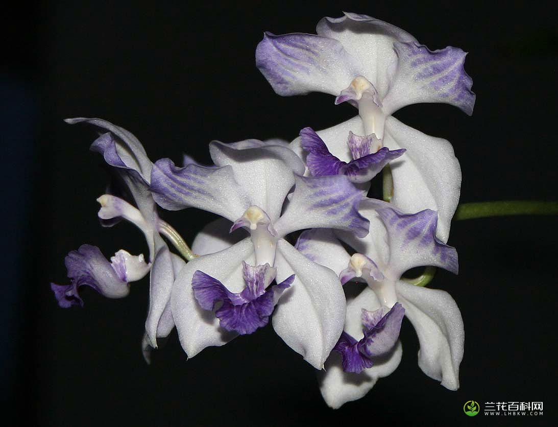 唯美美兰Acacallis cyanea高清图片欣赏
