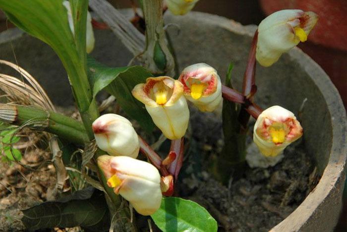 坛花兰Acanthephippium sylhetenseLindl.
