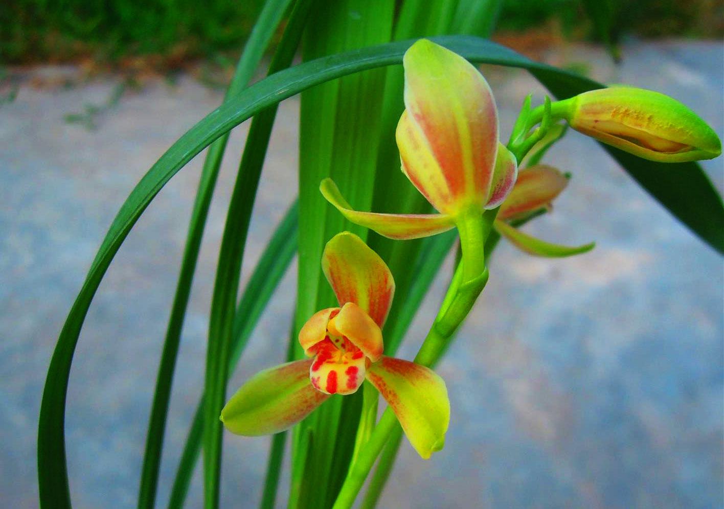 建兰绿光登梅/蜀梅建兰Cym.ensifolium'Lu Guang Deng Mei'