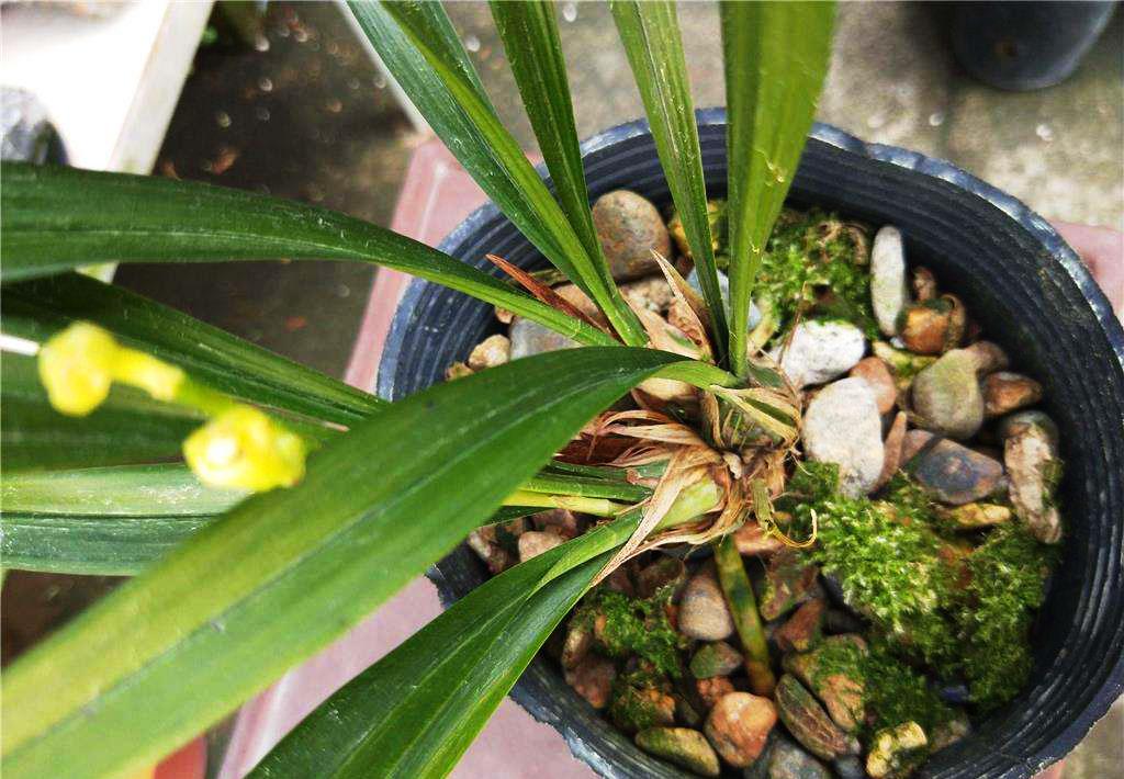 建兰一品梅/盖梅Cym.ensifolium'Yi Pin Mei'