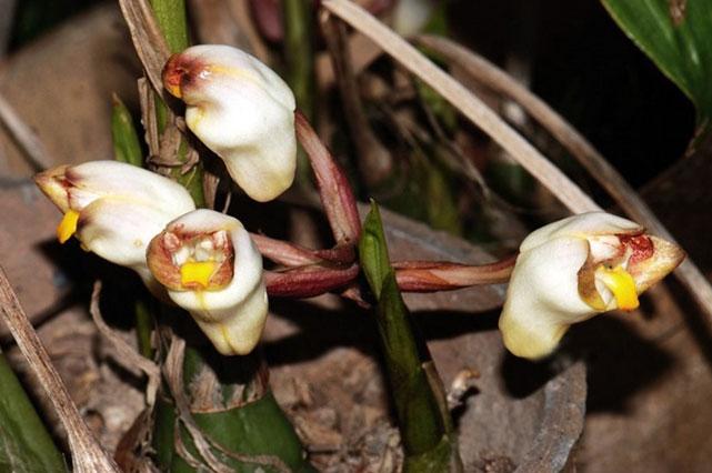 坛花兰属Acanthephippium Bl.