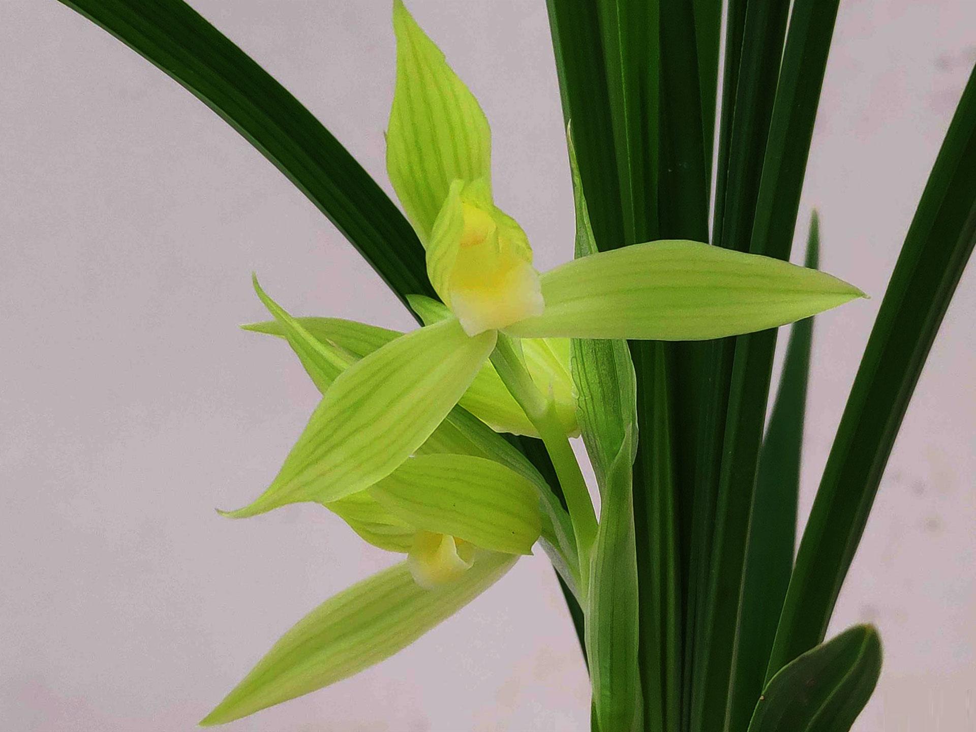 春建西蜀道光Cym.tortisepalum var.longibracteatum'Xi Shu Dao Guang'