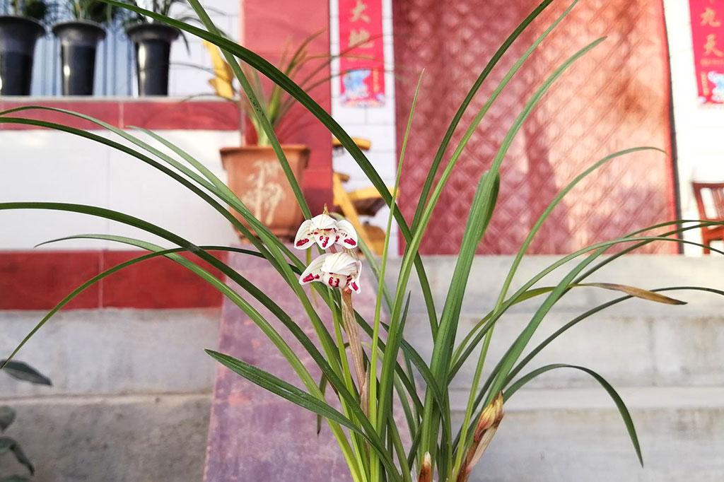 莲瓣兰剑阳蝶Cym.tortisepalum'Jian Yang Die'