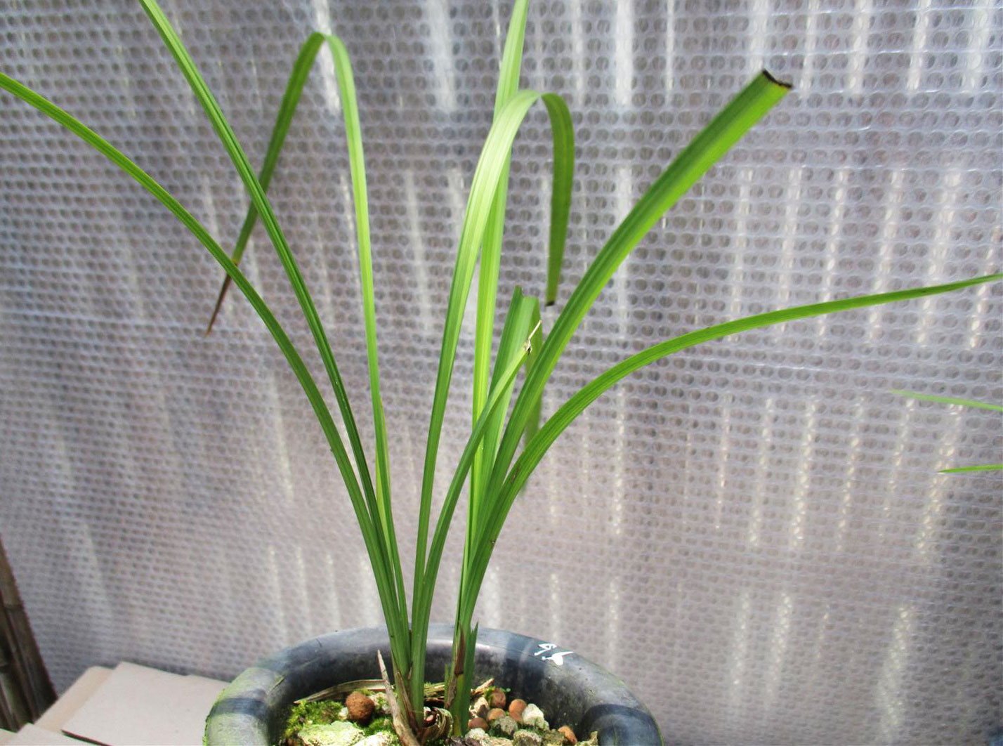 春建银杆素Cym.tortisepalum var.longibracteatum'Yin Gan Su'