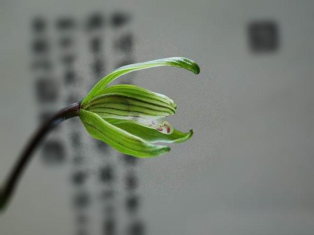 寒兰儒仙Cym.kanran'Ru Xian'