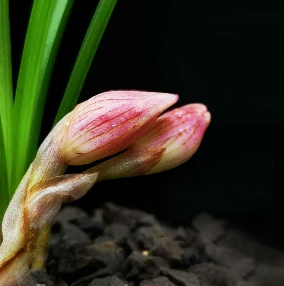 莲瓣兰粉荷Cym.tortisepalum'Fen He'