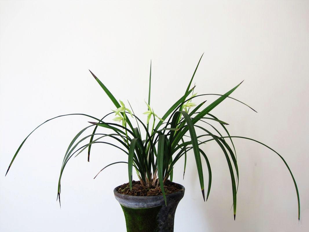 春建隆昌素Cym.tortisepalum var.longibracteatum'Long Chang Su'