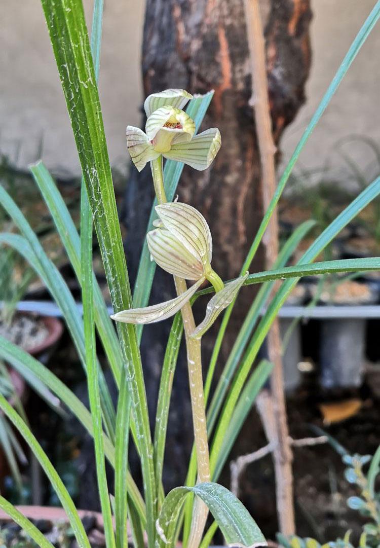 莲瓣兰点苍梅Cym.tortisepalum'Dian Cang Mei'