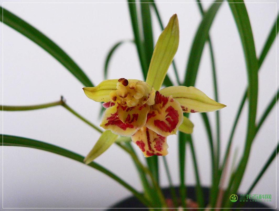 建兰复兴奇蝶Cym.ensifolium'Fu Xing Qi Die'