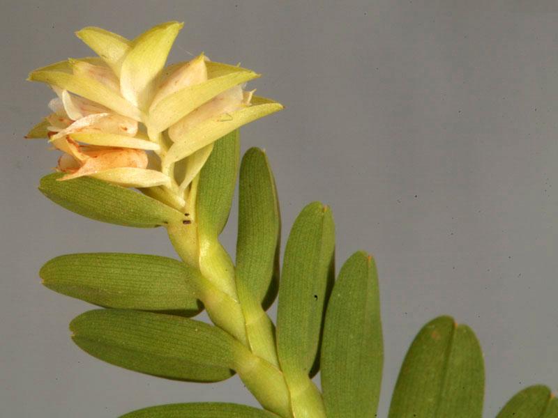 牛齿兰属Appendicula