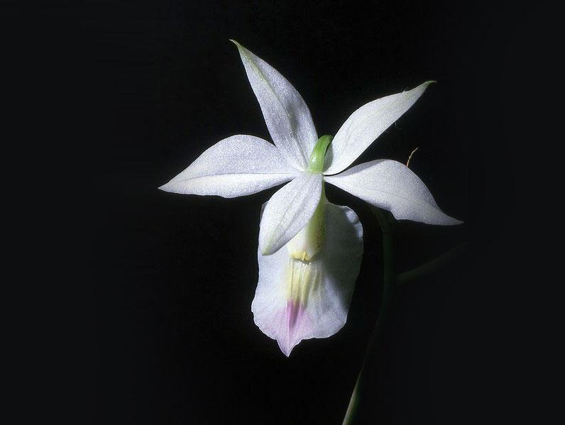 林氏巴克兰Barkeria lindleyana