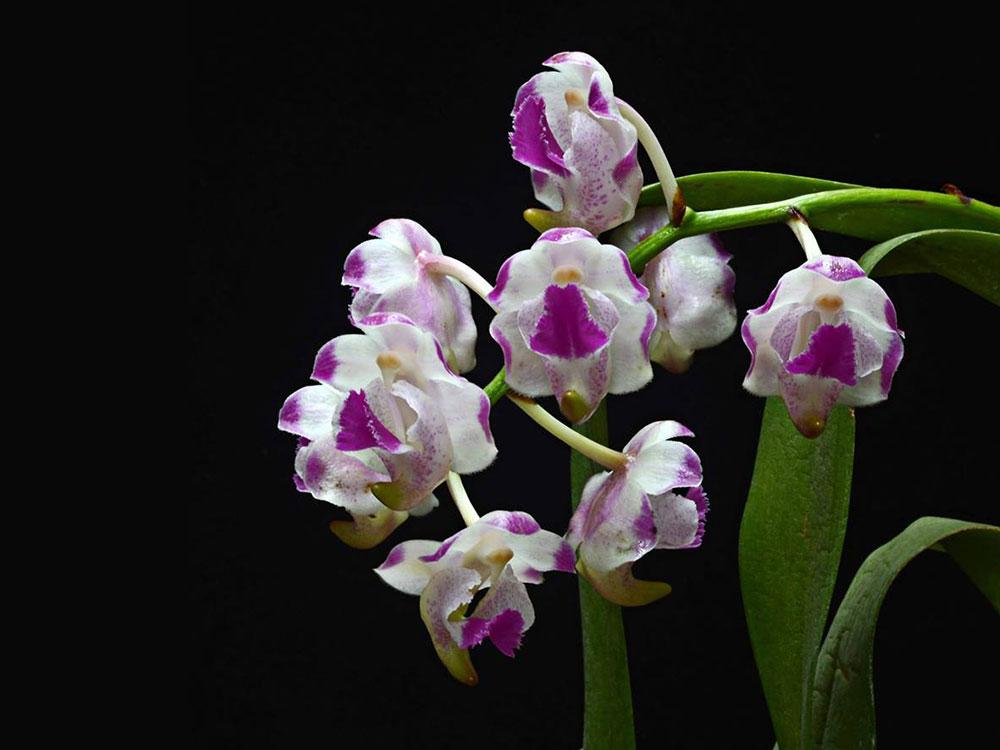 罗氏指甲兰Aerides.lawrenceae