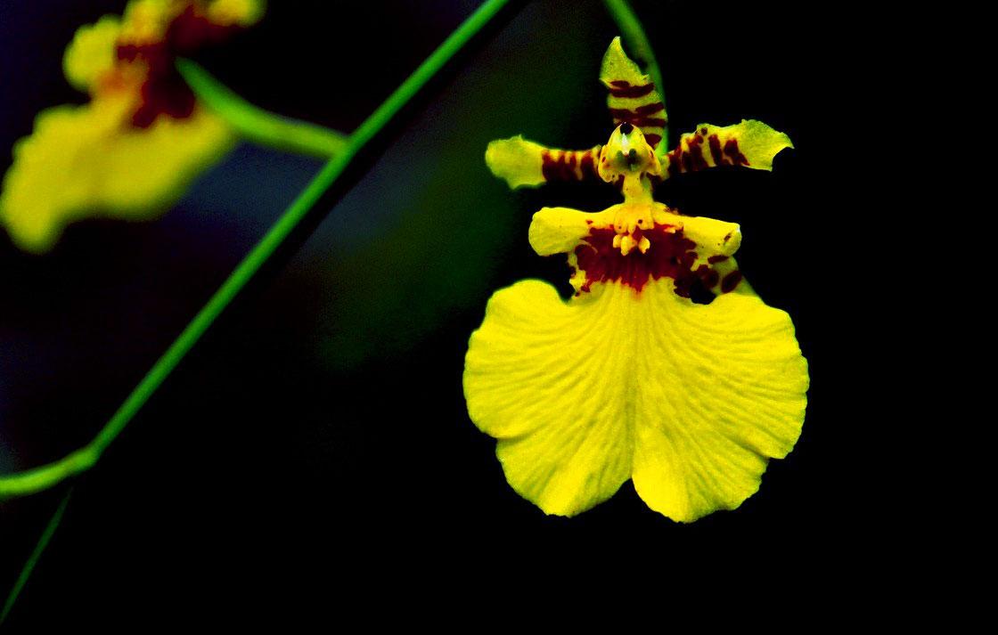 兰花的品种简介与市场前景