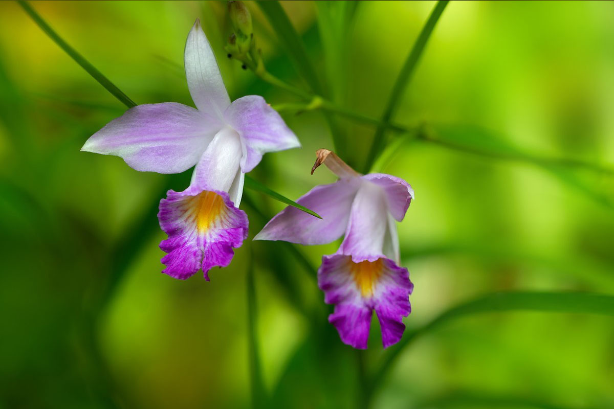 竹叶兰属Arundina
