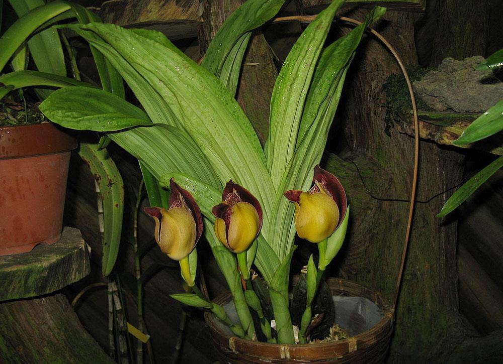 安顾兰属Anguloa(Ang.)