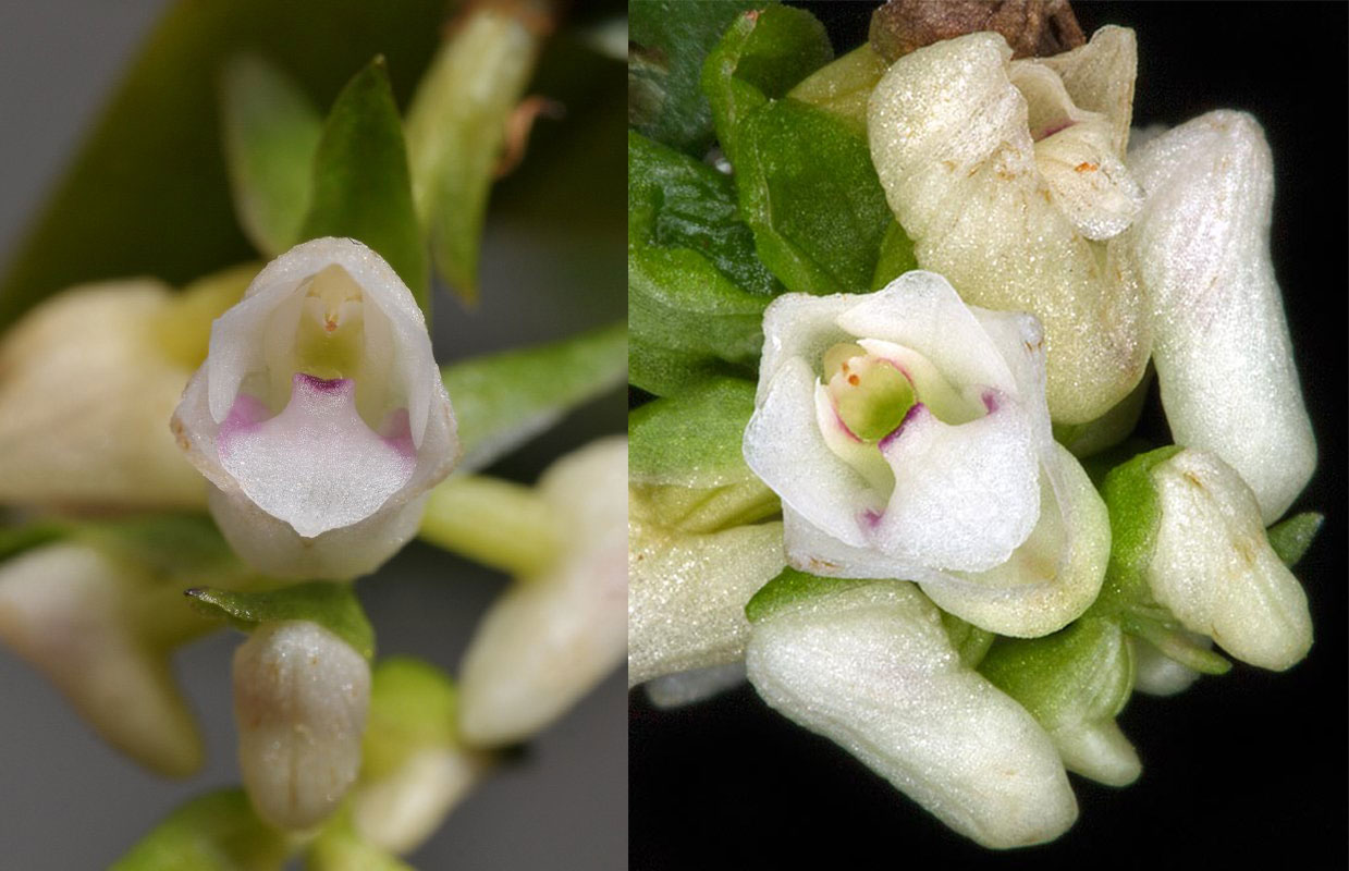 牛齿兰Appendicula.cornuta