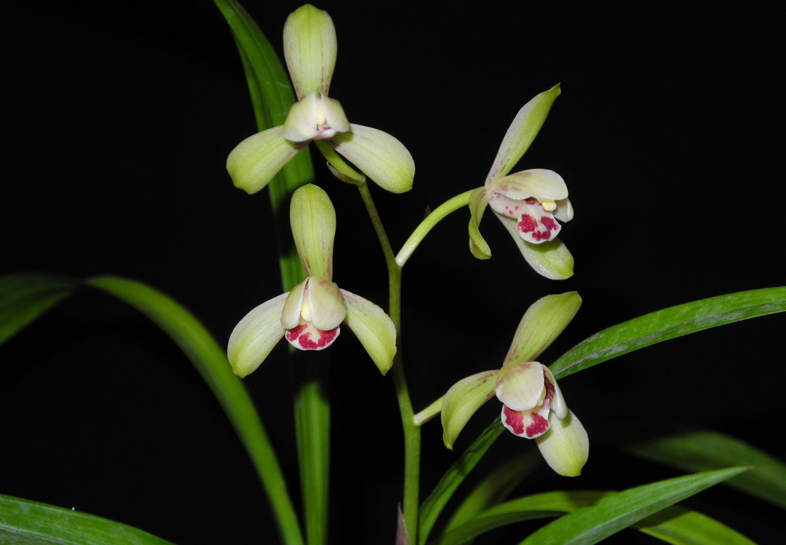 建兰荷王Cym.ensifolium'He Wang'