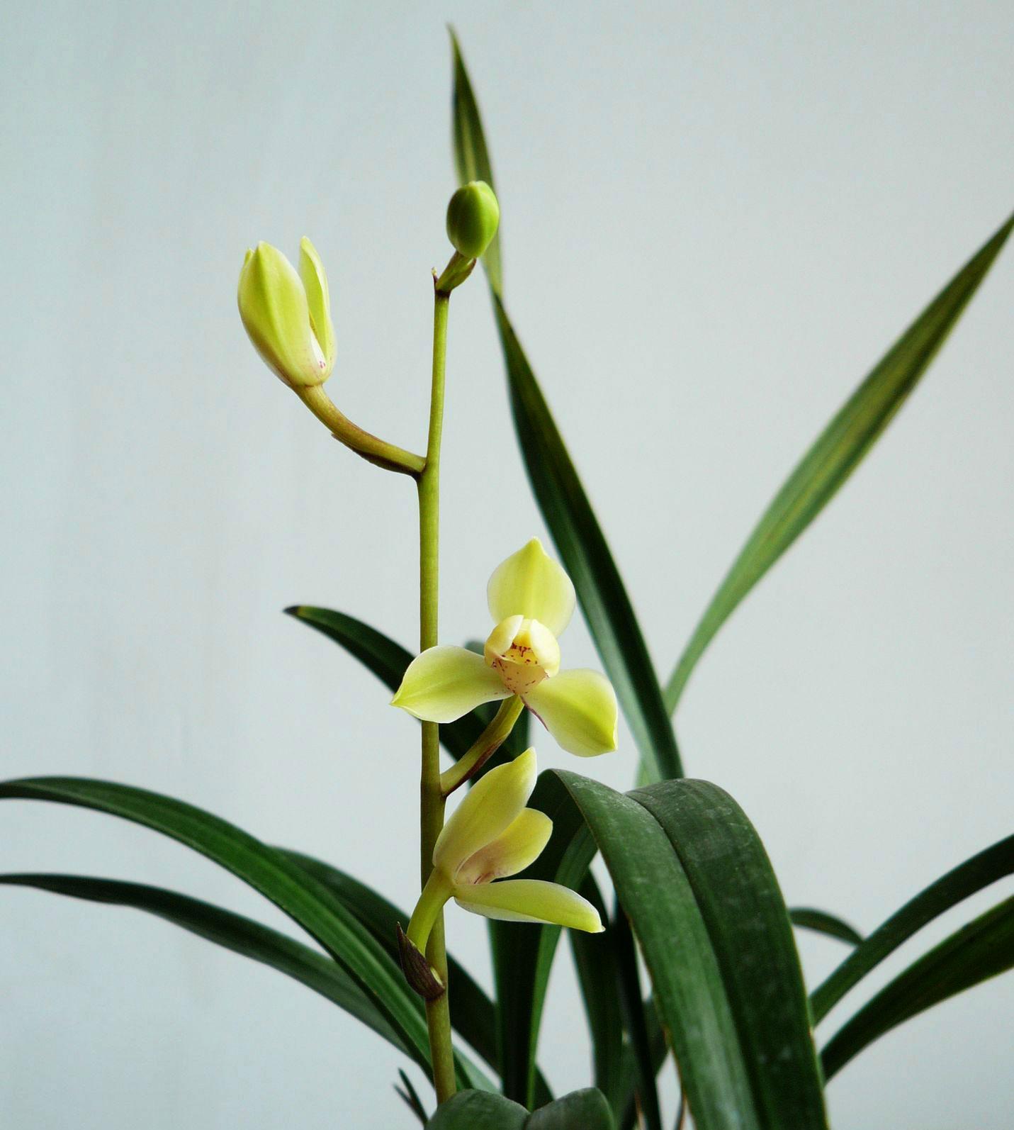 建兰中华水仙/裕梅Cym.ensifolium'Zhong Hua Shui Xian'