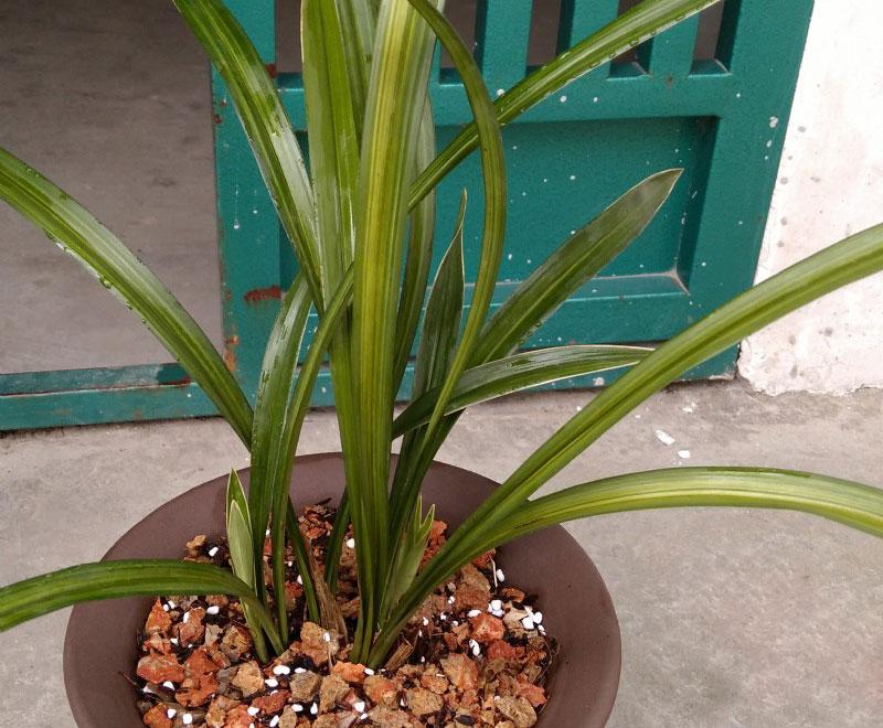 建兰金丝马尾Cym.ensifolium'Jin Si Ma Wei'