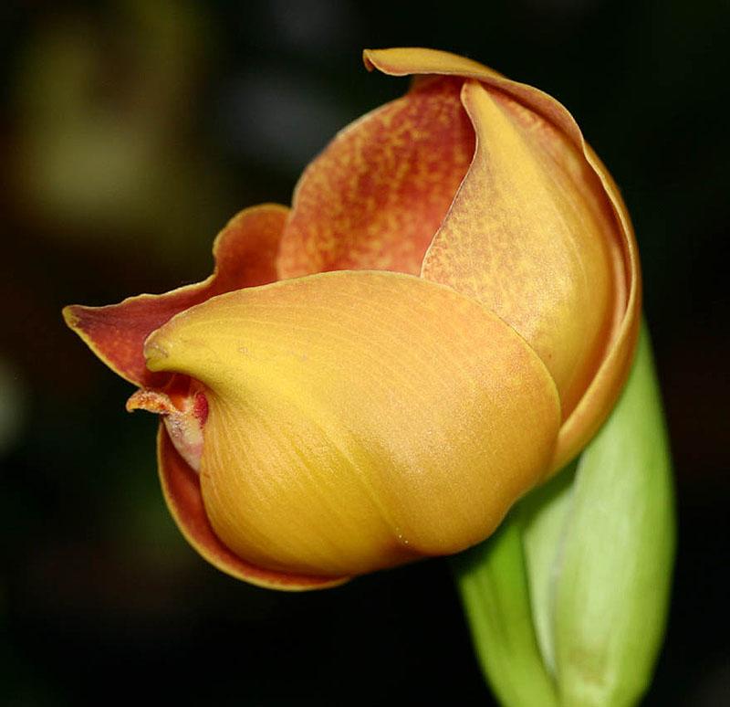 单花安顾兰Anguloa.uniflora