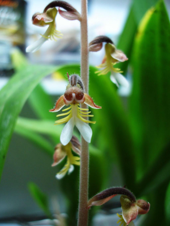 开唇兰属/金线兰属Anoectochilus(Anct.)