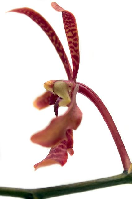 火焰蜘蛛兰属Aranthera(Arnth.)