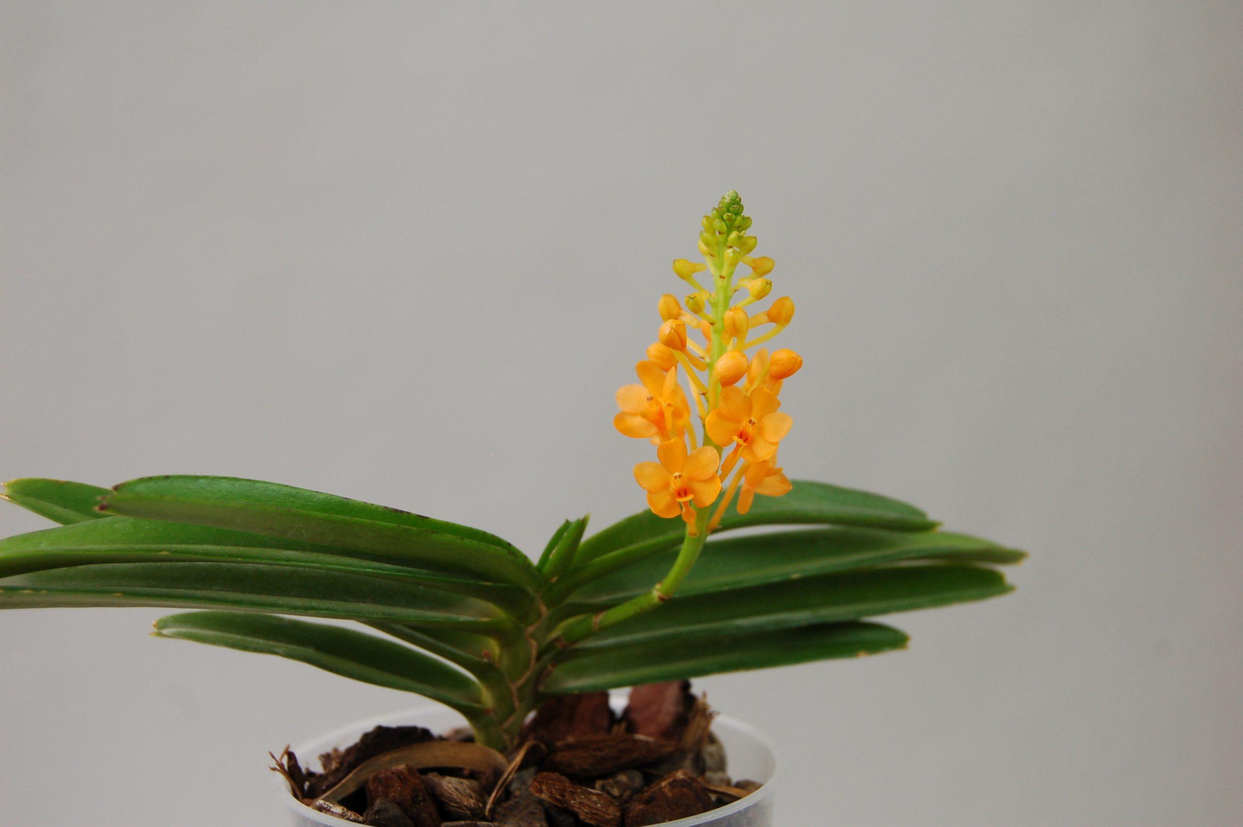 朱红舌兰Ascocentrum.miniatum
