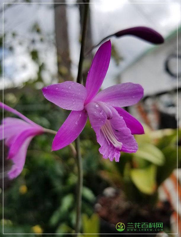 紫花拟白芨Bletia purpurea