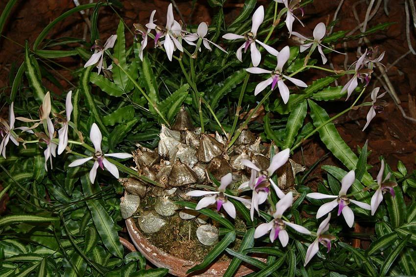 钩唇兰属Ancistrochilus