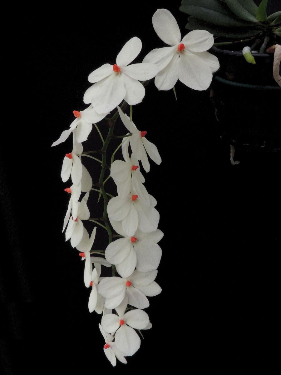 乳白细距兰Aerangis.luteolba红杜鹃