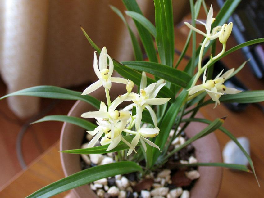 建兰玉雪天香Cym.ensifolium'Yu Xue Tian Xiang'